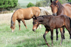 Morgan Horse's grazing in their paddock