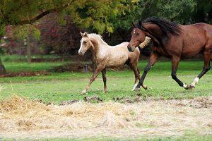 Young Morgan Horse running